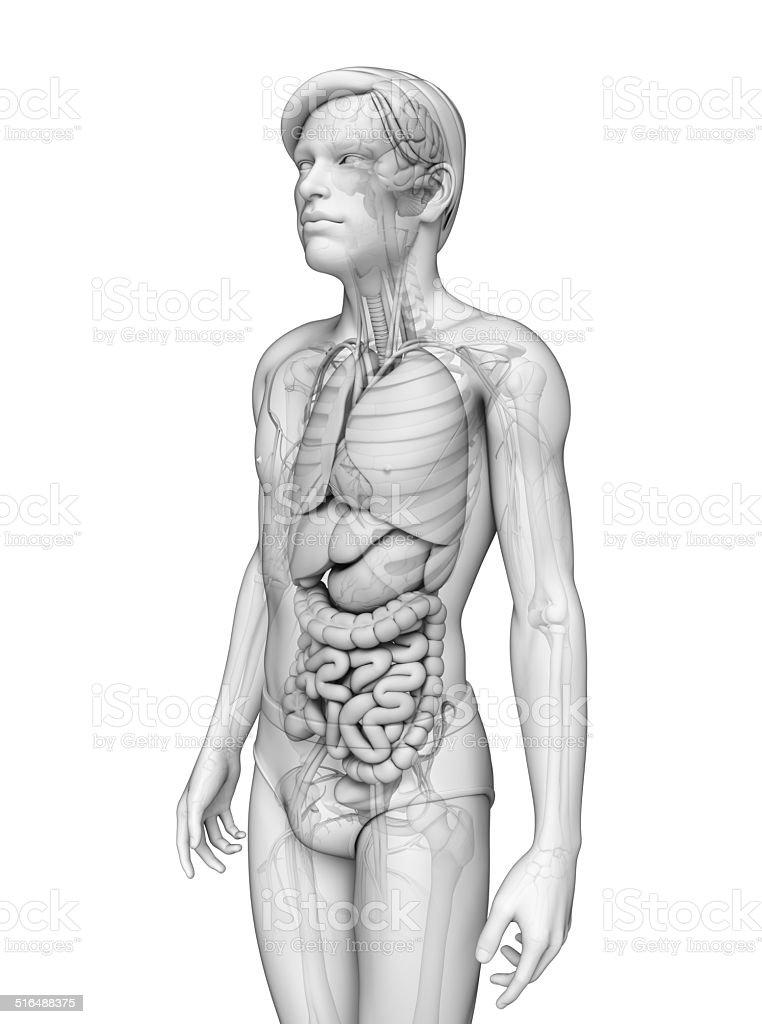 Digestive System Männliche Anatomie Stockfoto 516488375 | iStock