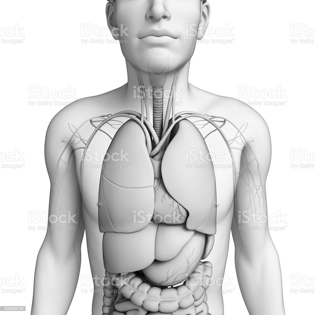 Digestive System Of Male Anatomy stock photo | iStock