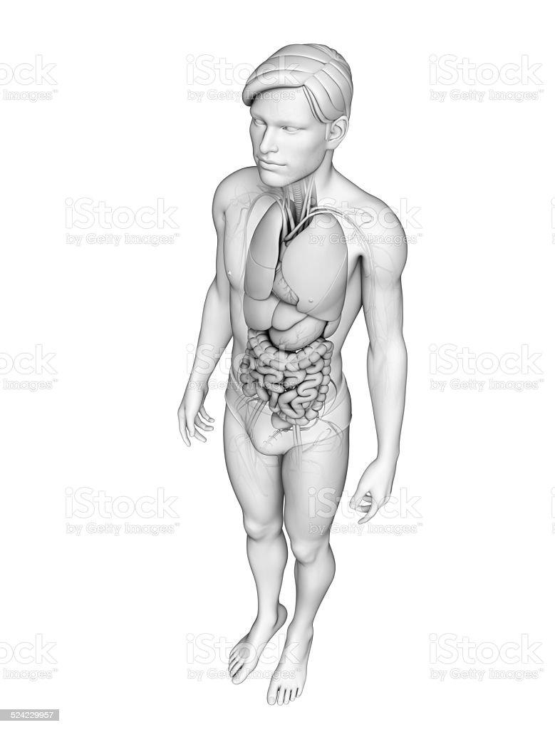 Digestive system of male anatomy stock photo