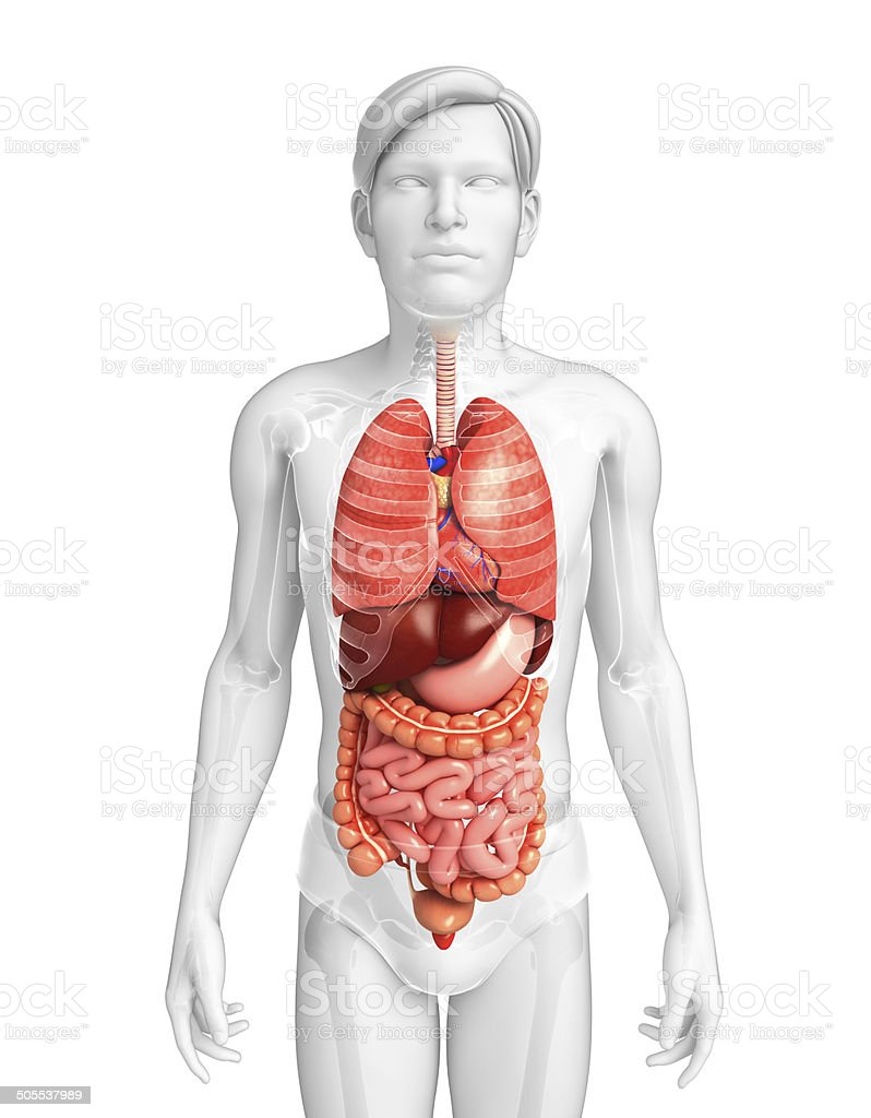 Digestive system of male body stock photo