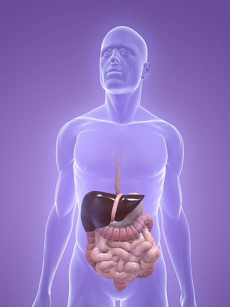 digestive system - internal organ stock photos and pictures