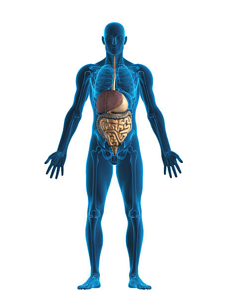 Estómago Humano órgano Interno - Stock Fotos e Imágenes - iStock