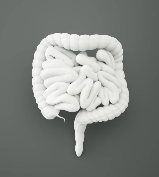 digestive system with clipping path - human intestine stock photos and pictures