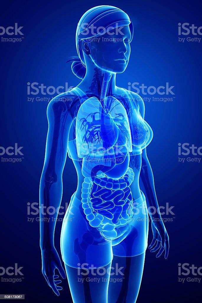 Verdauungssystem Mit Weiblichen Anatomie Stock-Fotografie und mehr ...