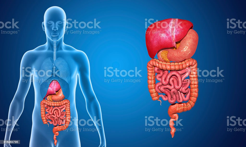 Digestive system with lungs stock photo
