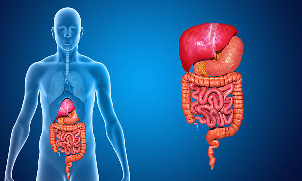 digestive system with lungs - internal organ stock photos and pictures