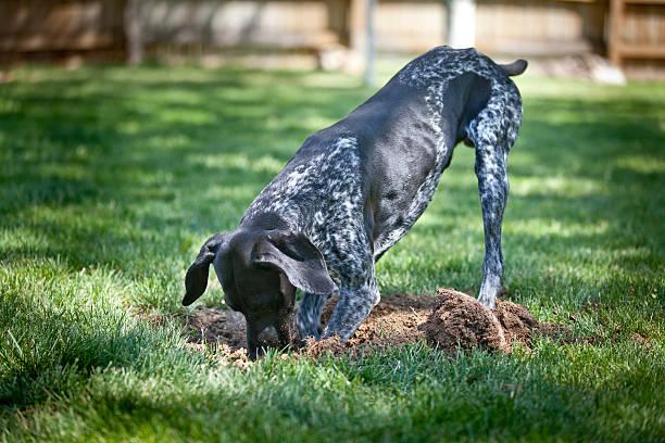 digging dog - graven stockfoto's en -beelden