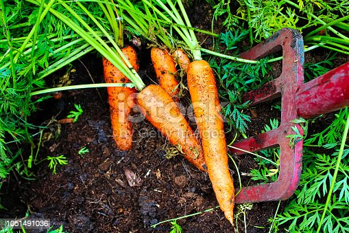 Digging organic carrots up with a pitchfork.