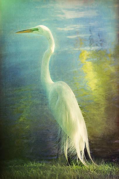 digital kunst, farbe effekt silberreiher (ardea alba egretta - malerei schuhe stock-fotos und bilder
