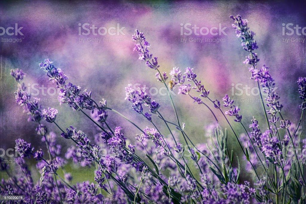 Digital art, paint effect, textured, Colourful garden Lavender flowers stock photo