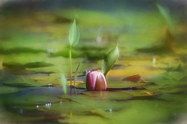 digital art farbe, rosa seeros'im teich im garten - lotus zeichnung stock-fotos und bilder