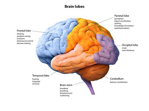 Digital illustration of human Brain, lobe, lobes, anatomy, 3D rendering