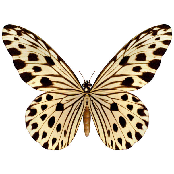 Digital render butterfly on white picture id900791680?b=1&k=6&m=900791680&s=612x612&w=0&h=0zxpe93u7lun3i6me47rd8mtvosvt7d2gtrphhfz iw=