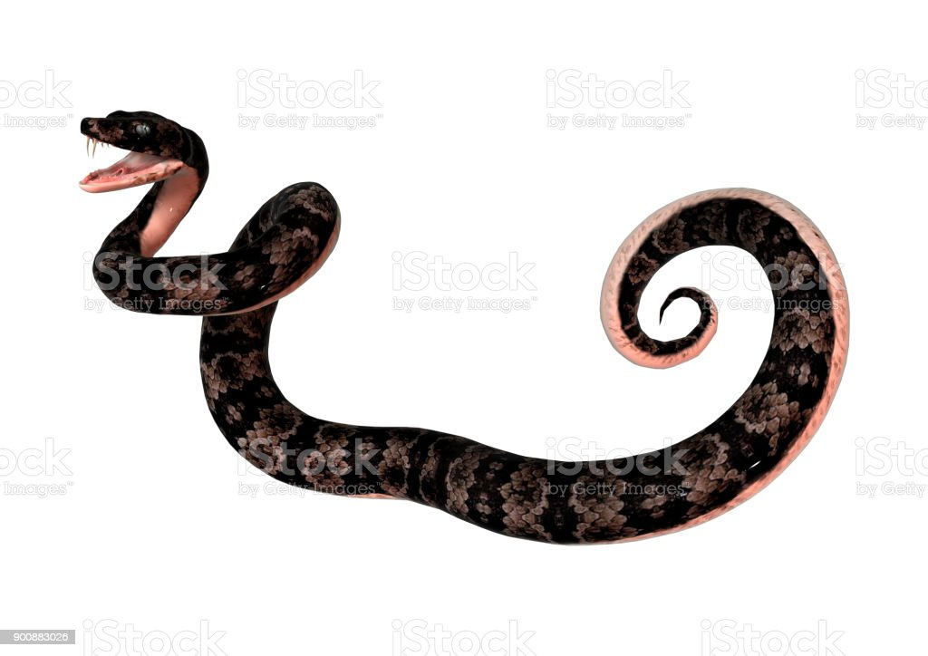 3D digital render cottonmouth snake on white stock photo