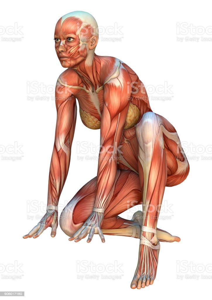 3d Digital Render Female Anatomy Figure On White Stock Photo More