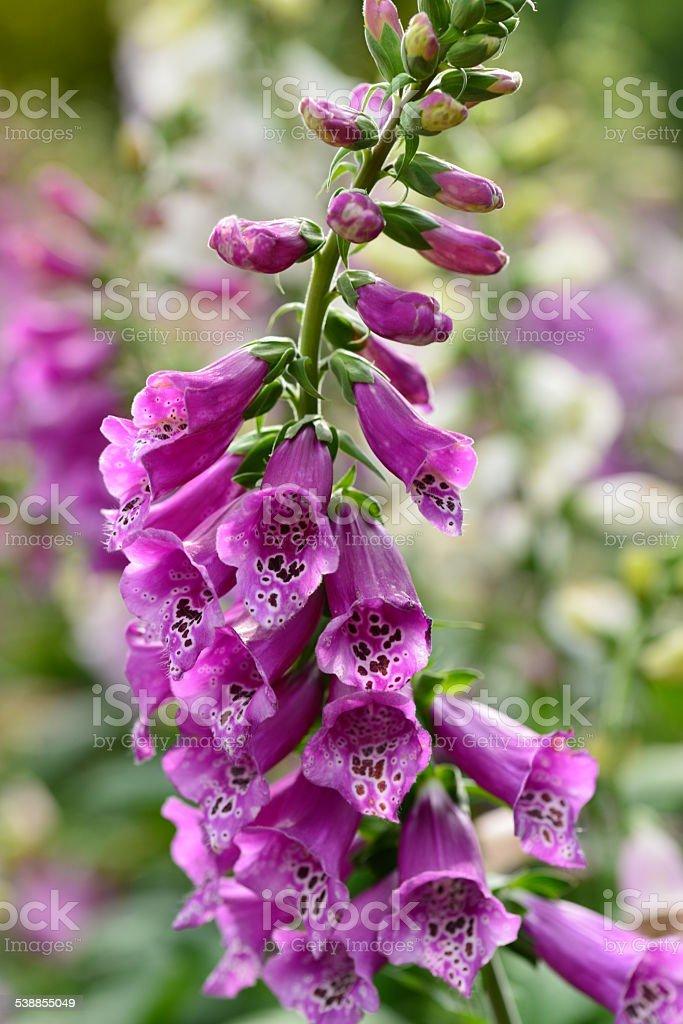 Digitalis Purpurea or Foxglove stock photo