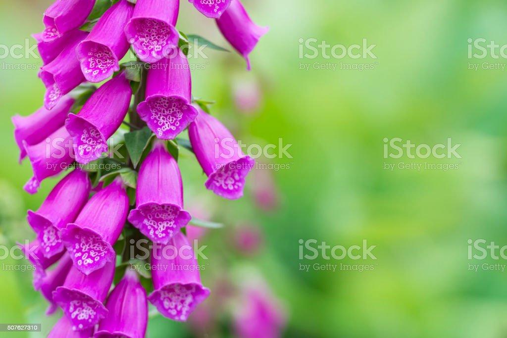 Digitalis purpurea stock photo
