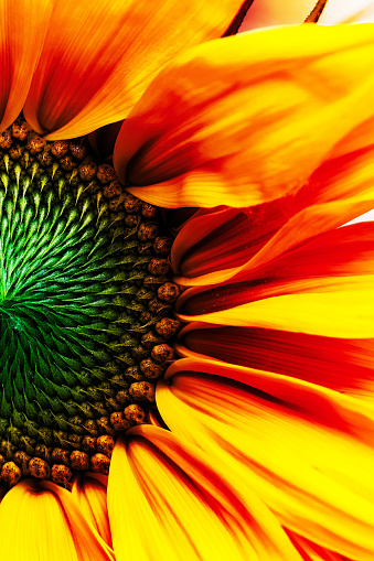 Sunflower in full bloom with blue sky