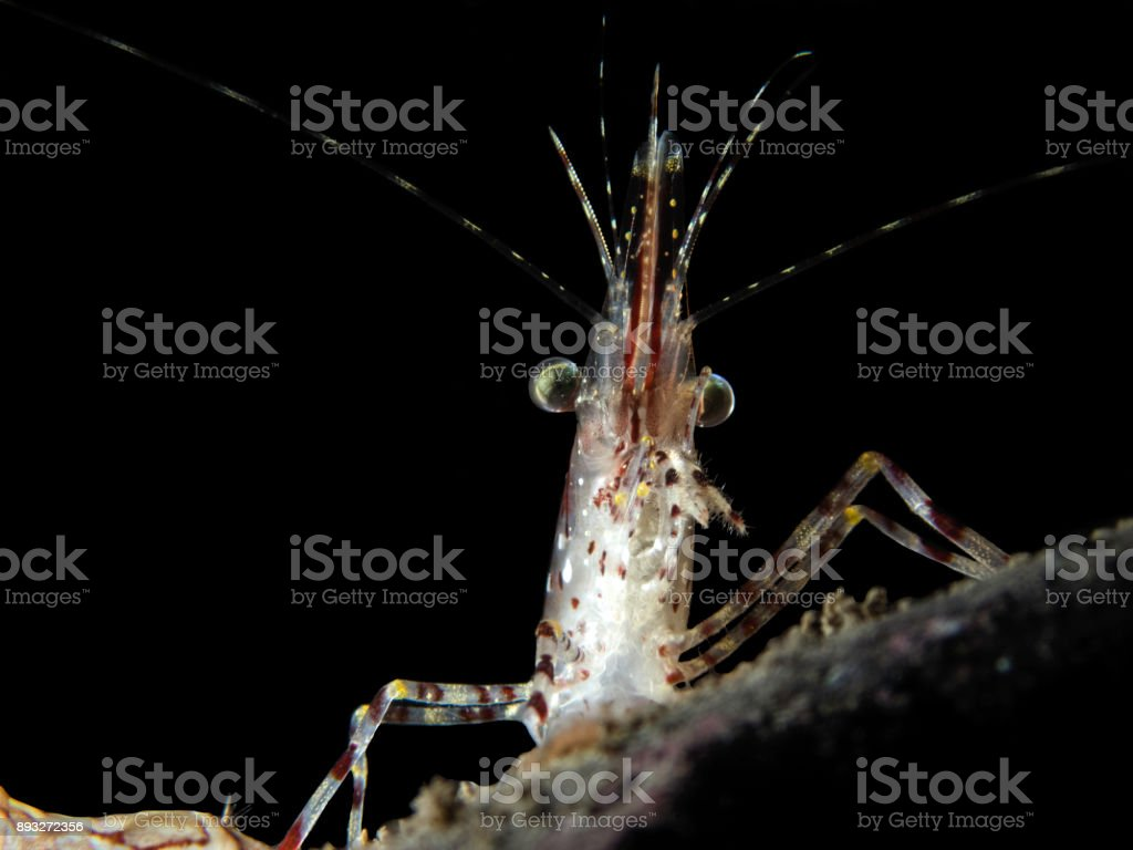 Dilbert the Shrimp royalty-free stock photo