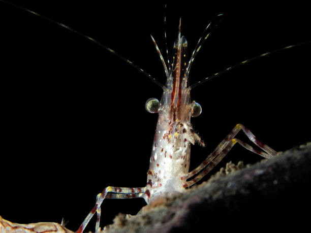 dilbert the shrimp - naturediver stock pictures, royalty-free photos & images