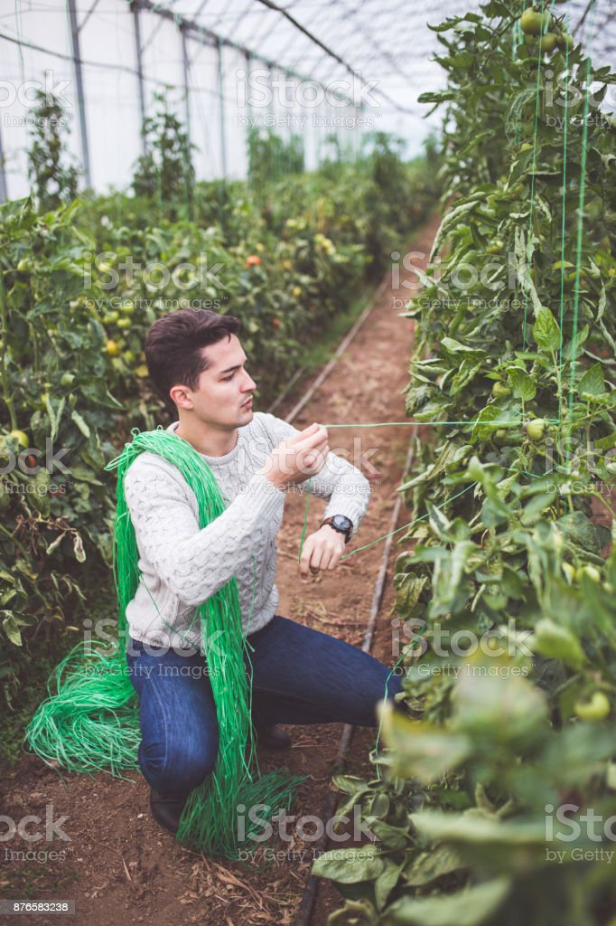 Diligent Farmer Roping Tomatoes In Greenhouse stock photo