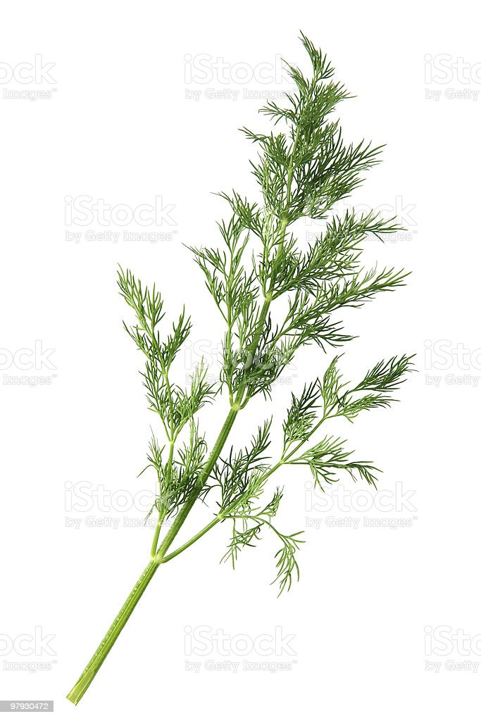 Dill branch royalty-free stock photo