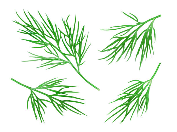 Dill Collection Isolated on White Dill Collection. Fresh Dill Herb Isolated on White. Clipping Path dill stock pictures, royalty-free photos & images