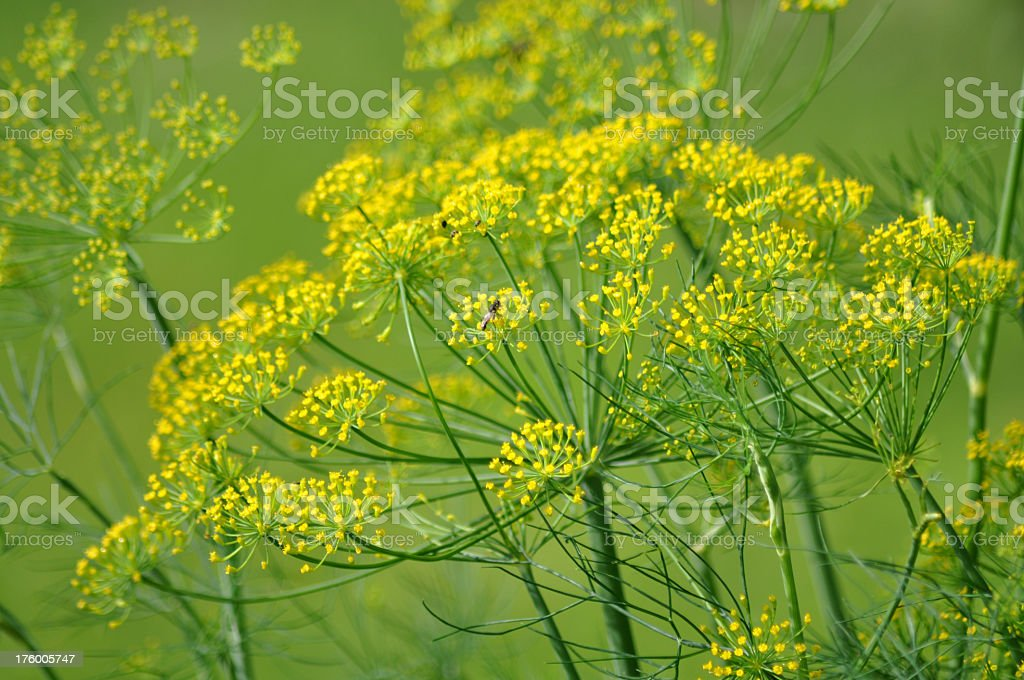 Dill Flower (Anethum graveolens) royalty-free stock photo