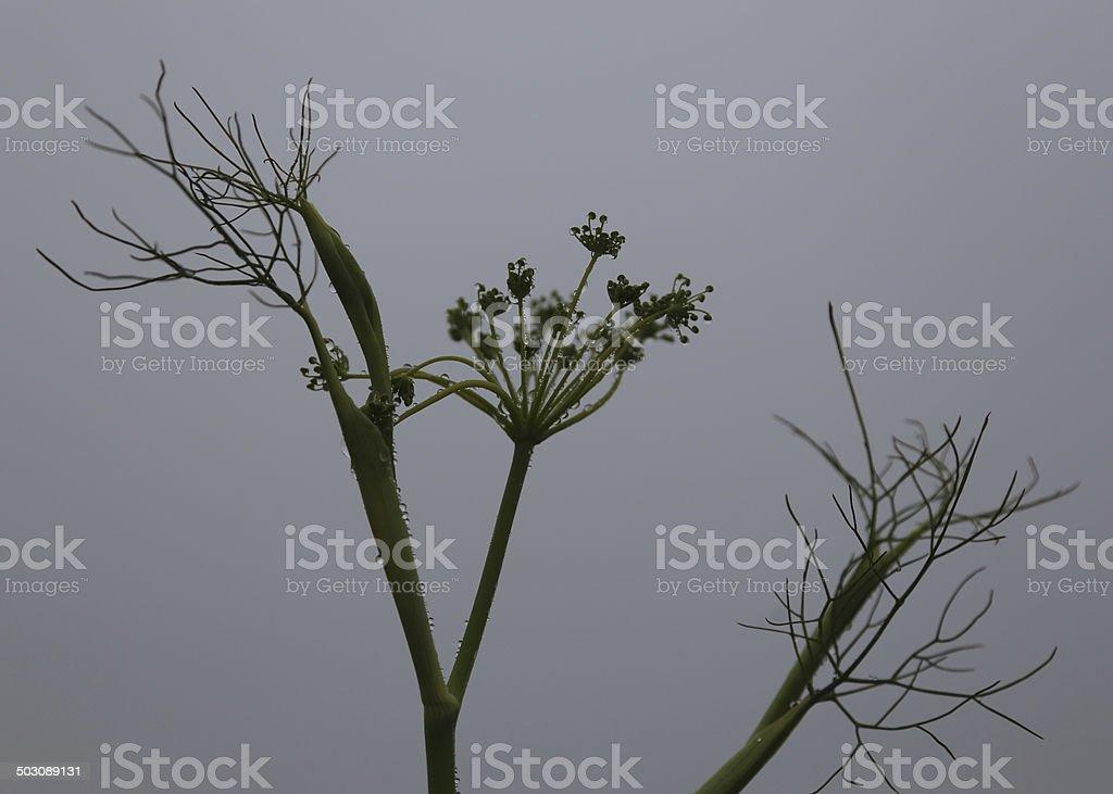 Dill Flower stock photo