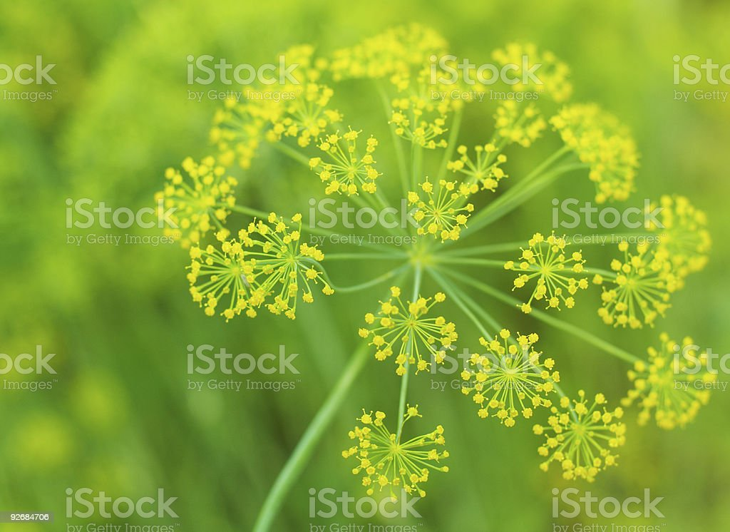 dill flower stock photo