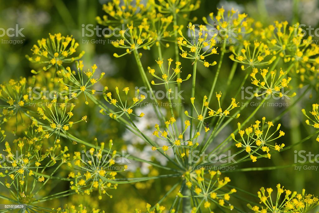 Dill flowers close-up stock photo