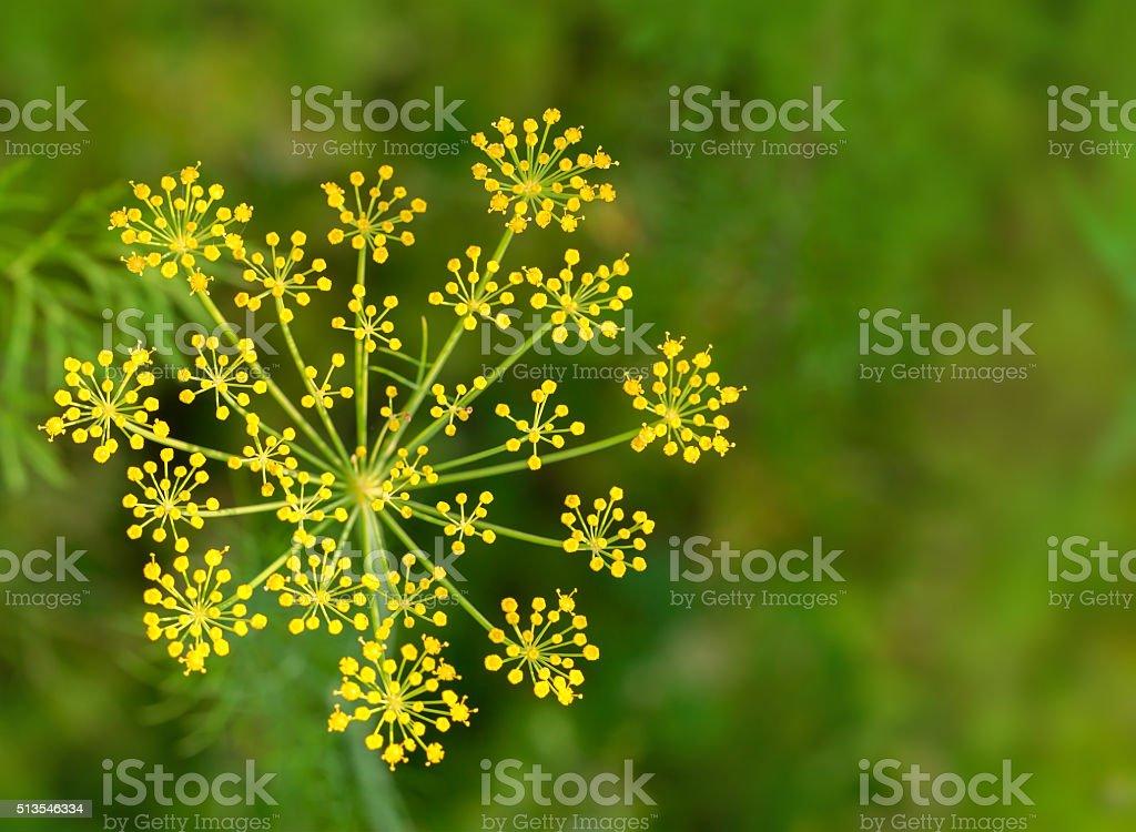 Dill flowers growing on vegetable bed stock photo
