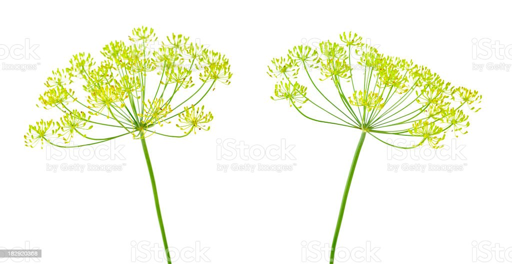 Dill flowers royalty-free stock photo