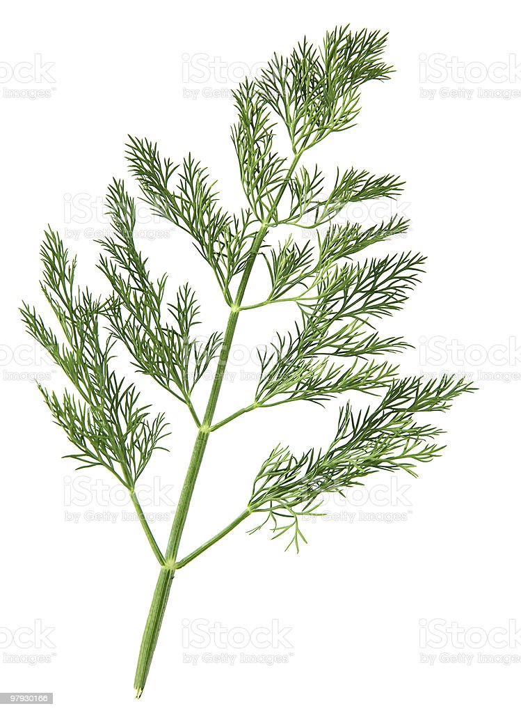 Dill herb royalty-free stock photo