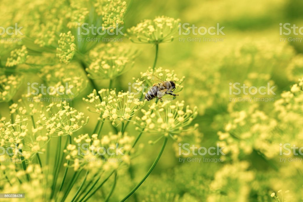 Dill herbs inflorescence in a garden stock photo