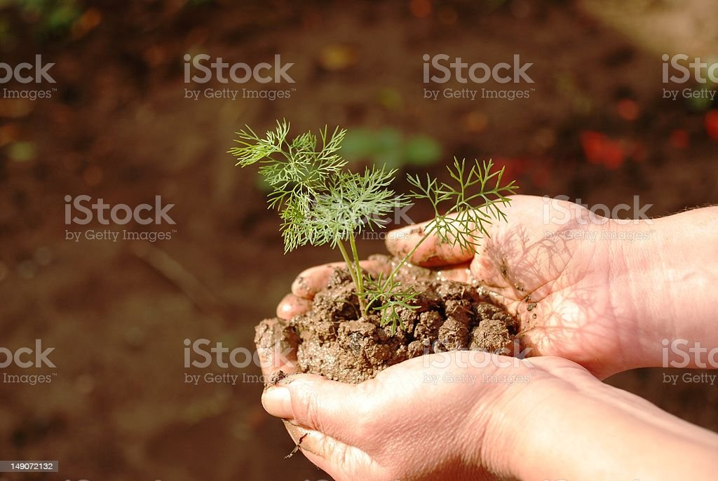 Dill in my hand :) stock photo