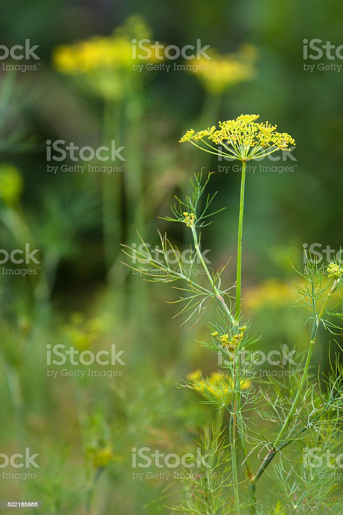 dill in the garden (selective focus used) stock photo