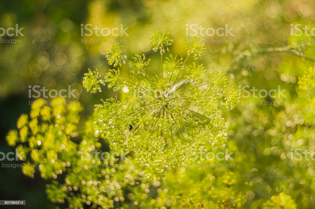 Dill inflorescence with droplets of dew on blurred background stock photo