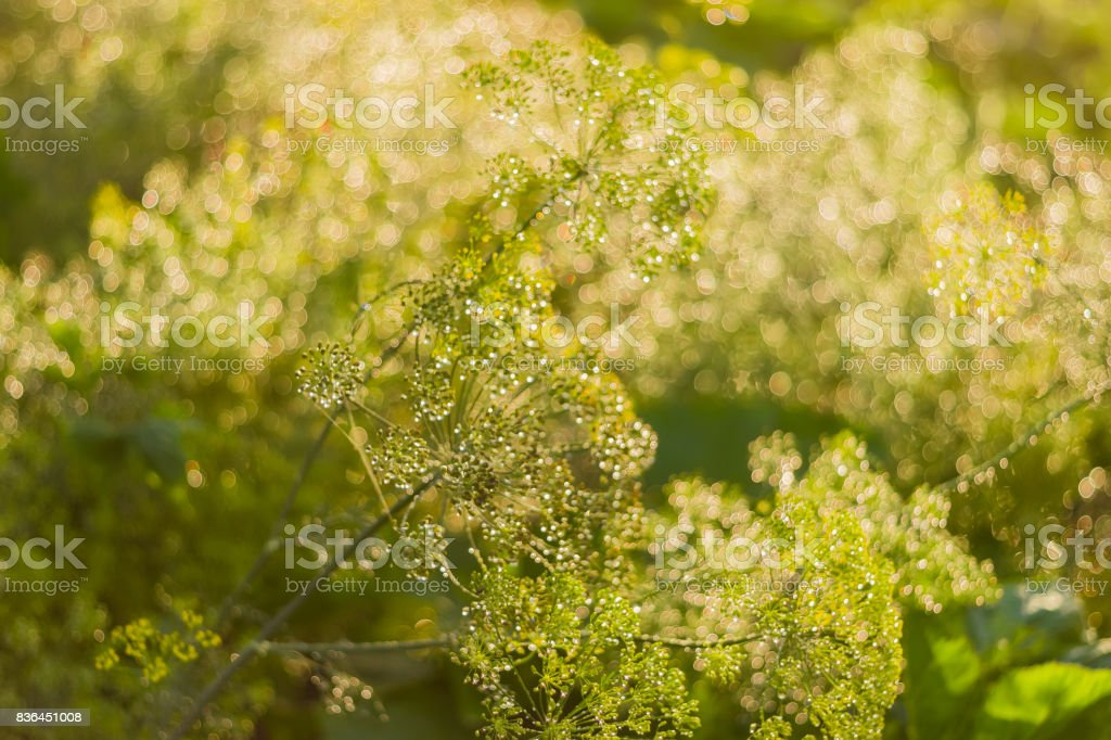 Dill inflorescences with droplets of dew on blurred background stock photo