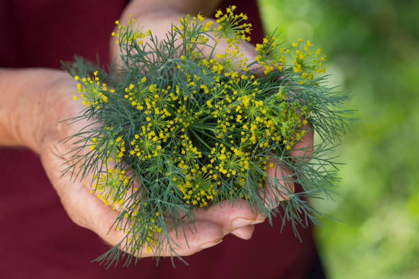 Dill Woman is holding in her hands dill dill stock pictures, royalty-free photos & images