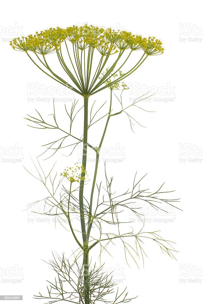 Dill (Anethum graveolens) royalty-free stock photo