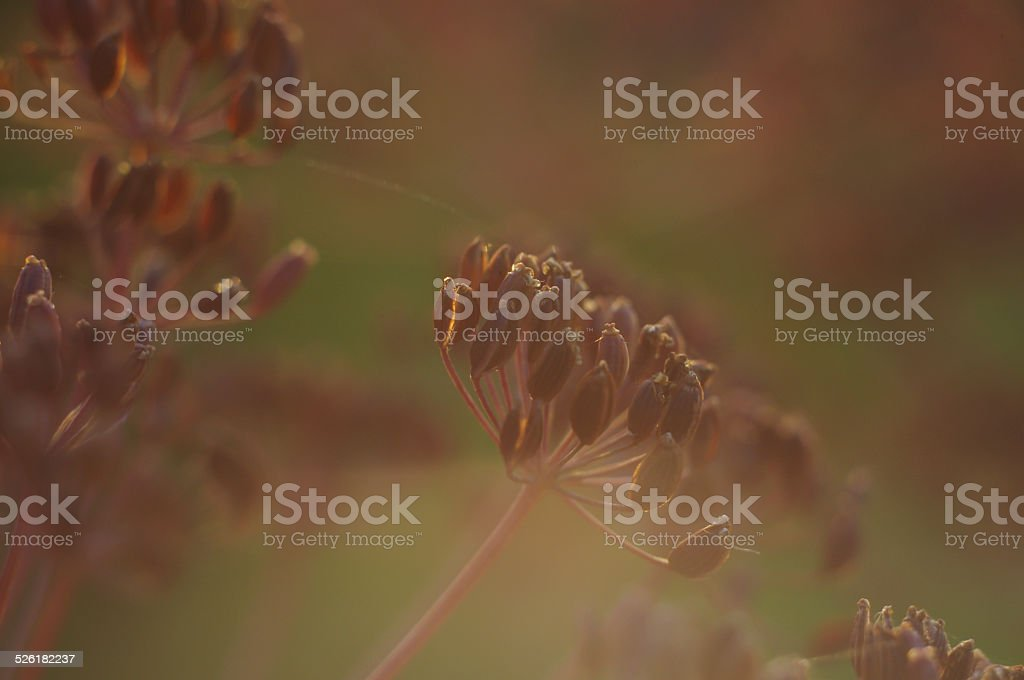 Dill plant with seeds macro stock photo