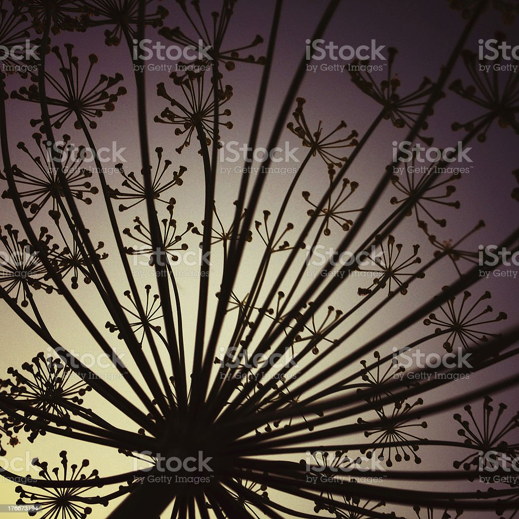 Dill silhouette royalty-free stock photo