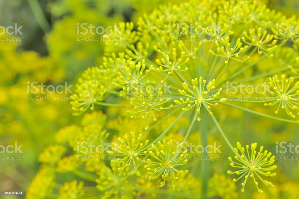 Dill Umbels on Vegetable Patch royalty-free stock photo