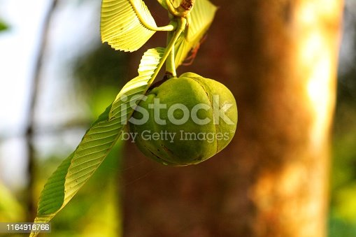 Dalenia indica elephant apple fruit with leaf hanging from tree