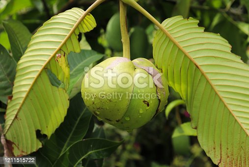 Dillenia indica fruit one the tree. Elephant apple fruit