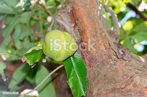 Dillenia indica(Elephant Apple)