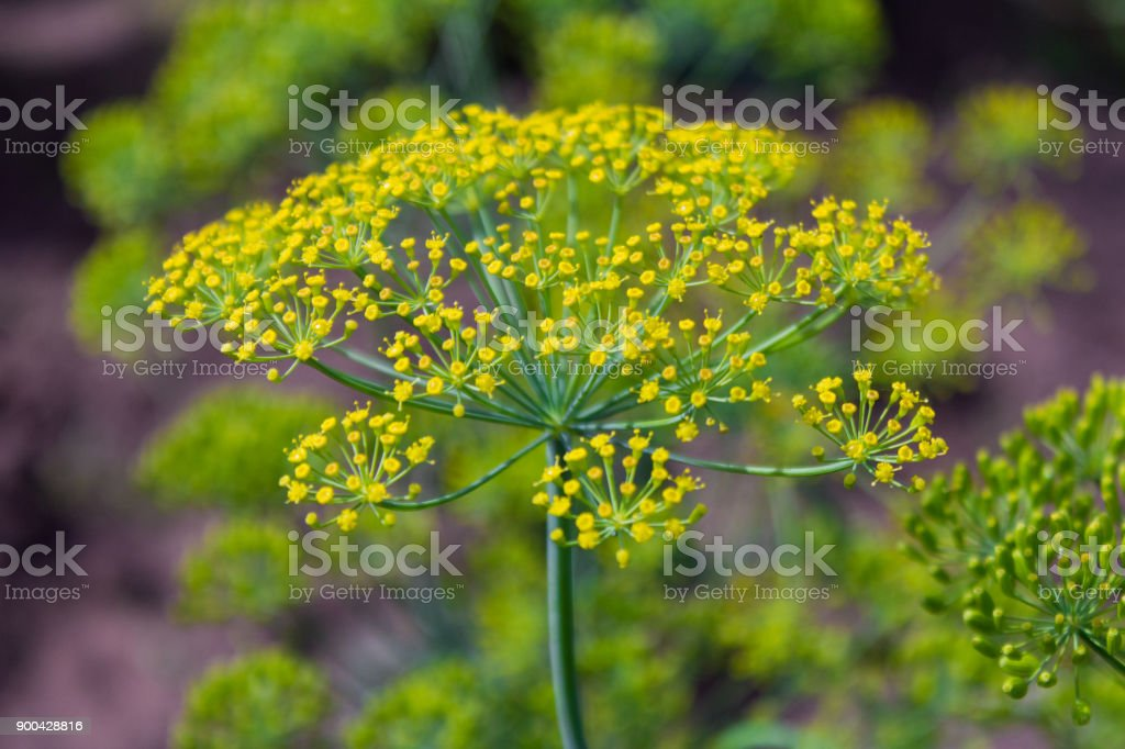 DILL,fennel seeds stock photo