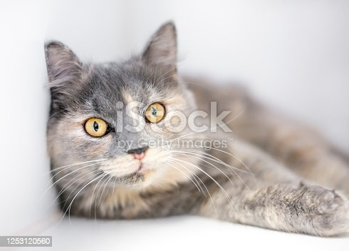 A Dilute Tortoiseshell cat with yellow eyes in a relaxed position