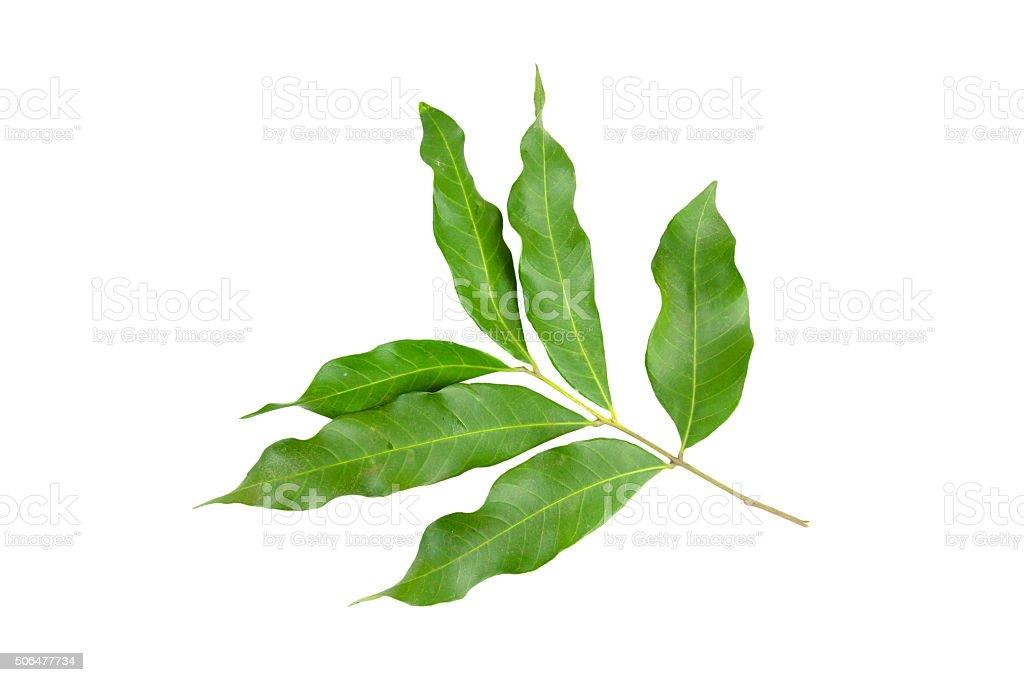 Dimocarpus, longan leaves on background stock photo